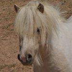 Hunter. Barcoos newest Shetland Pony.
